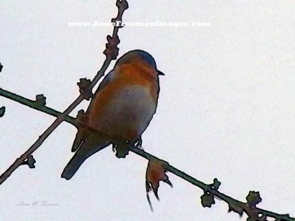 """Bluebird"" - Copyright Anne M. Freeman"