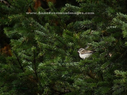 """Chipping Sparrow In the Pines"" - Copyright Anne M. Freeman"