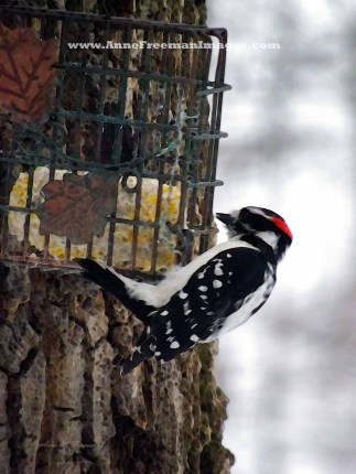 """Male Downy Woodpecker At Feeder #1"" Copyright Anne M. Freeman"