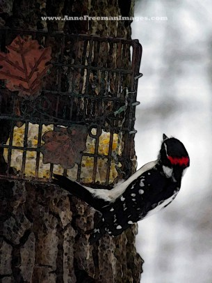 """Male Downy Woodpecker At Feeder #2"" Copyright Anne M. Freeman"