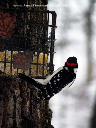 """Male Downy Woodpecker At Feeder #3""  Copyright Anne M. Freeman"
